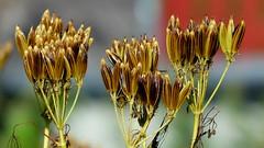 Myrrhis odorata (Apiaceae) (Kartanonhaka, Helsinki, 20150724) (RainoL) Tags: 2015 201507 20150724 apiaceae fin finland flower flowers geo:lat=6023906558 geo:lon=2486268282 geotagged gårdshagen helsingfors helsinki july kaarela kartanonhaka kårböle malmgård malminkartano myrrhis myrrhisodorata nyland plant plants saksankirveli summer umbelliferae uusimaa
