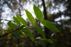 Autumn leaf (Esat Sanlav) Tags: outdoor leaf nature forest tree trees leafs world life green wildlife gf3 m43 panasonic