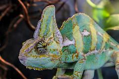 Chamäleon (JuliSonne) Tags: chamäleon jemenchamäleon reptil kriechtier schuppentier schuppen hornschuppen kegekschuppen groseaugen farbwechsel grün gelb streifen rollschwanz schleuderzunge artenschutz