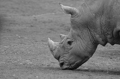 Survivor (dfromonteil) Tags: animal rhino rhinoceros nature black white bw closeup eye oeil regard look bokeh