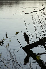 grey-heron in backlight (kim.foto) Tags: reiher gegenlicht backlight heron
