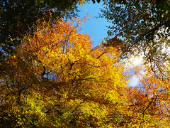 Beech, Callander Crags (Niall Corbet) Tags: scotland perthshire callandercrags callander woodland forest autumn beech fagussylvatica gold orange