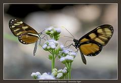Ismenius tiger (Jan H. Boer, Nature photographer) Tags: heliconiusismeniusclarescens ismeniustiger butterflies insects nature macro costarica turrúcares nikon d5200 3000mmf40 jan´sphotostream2016
