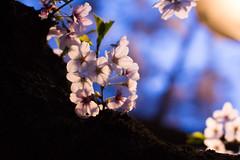 Somei-yoshino in the night (O-okayama, Tokyo, Japan) (t-mizo) Tags: flowers trees plants plant flower tree japan canon cherry tokyo blossom sigma  cherryblossom     meguro  lr lightroom prunus  rosales cerasus  sigma50mm   ookayama   meguroku     sakrua lr4 prunusyedoensis sigma50 sigma5014 sigma50mmf14  sigma50mmf14exdghsm sigma50exdg sigma50mmf14exdg sigma50f14 eos60d sigma50mmhsm sigma50mmf14dgex lightroom4