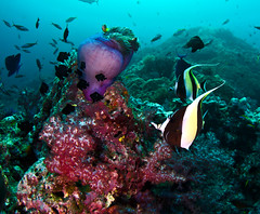 midols9364 (gerb) Tags: red topv111 coral 510fav nice topv555 topv333 underwater purple topv1111 topv999 scuba fv5 anemone topv777 domino reef anemonefish tvp moorishidol softcoral similanislands aquatica d7000 sunkentreasureaward sigma1017fe