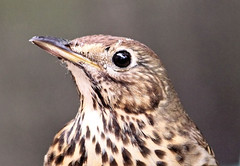 Song Thrush (Judy's Wildlife Garden) Tags: songthrush judykennett