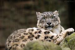 What's up? (Cloudtail the Snow Leopard) Tags: animal cat mammal zoo bigcat katze tiergarten snowleopard tier nrnberg panthera raubkatze schneeleopard sugetier irbis uncia groskatze flickrbigcats