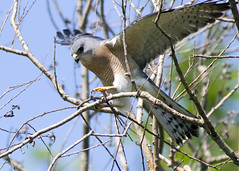 Levant Sparrowhawk / Accipiter brevipes / Σαΐνι (Panayotis1) Tags: nature birds canon aves greece animalia accipiter accipitridae chordata φύση accipitriformes canonef400mmf56lusm imathia πουλιά ημαθία levantsparrowhawk accipiterbrevipes σαινι τάφροσ66 tafros66 kenkopro300afdgx14x