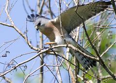 Levant Sparrowhawk / Accipiter brevipes /  (Panayotis1) Tags: nature birds canon aves greece animalia accipiter accipitridae chordata  accipitriformes canonef400mmf56lusm imathia   levantsparrowhawk accipiterbrevipes  66 tafros66 kenkopro300afdgx14x
