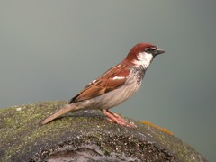 Italian Sparrow (Passer italiae), male (piazzi1969) Tags: italy birds wildlife sparrows trentino passero sperling valsugana roncegno italiansparrow passeritaliae