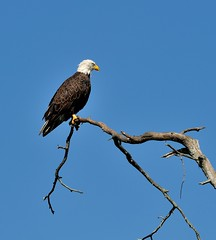 American Bald Eagle (Jez B) Tags: saint st river eagle florida wildlife bald american johns airboat