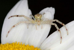 Crab Spider (DrPhotoMoto) Tags: female spider spiders northcarolina crabspider araneae richmondcounty araneomorphae thomisidae crabspiders truespiders entelegynes mecaphesa