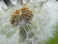 Seeds (Ellie Skye) Tags: flower clock nature weed head seed dandelion