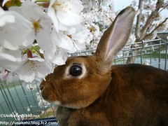 P1060850 () Tags: rabbit bunny usagi  minirex