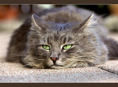 SUPER Bored ! (FocusPocus Photography) Tags: portrait cat feline chat bored kitty portrt gato katze kater fynn longhaired gelangweilt langhaarkatze fynnegan