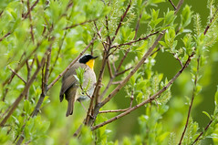 Common Yellowthroat (Geothlypis trichas) (Michael J Porter) Tags: bird birds britishcolumbia walkervalley 108mileranch