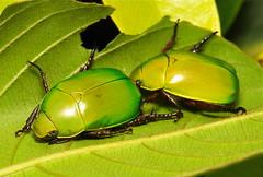 Leaf Chafer Beetles (Anomala dimidiata, Rutelinae, Scarabaeidae) (John Horstman (itchydogimages, SINOBUG)) Tags: china noah 2 macro green insect beetle yunnan chafer scarab fbe coleoptera scarabaeidae rutelinae tumblr itchydogimages sinobug