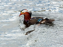 Mandarin duck (wok smuggler) Tags: ducks mandarinduck wildbirds marshmills plymouthuk