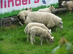 Schapenfamilie aan het eten (Arthur-A) Tags: netherlands nederland veronica lam eten lammetjes schaap grazen lammeren