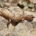 Hemidactylus ophiolepoides
