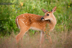 Whitetail Fawn (www.matthansenphotography.com) Tags: baby cute nature field animal sunrise mammal glow little wildlife small hunting july deer fawn editorial ungulate alert lookingback deerhunting whitetaileddeer licensing odocoileusvirginianus whitetaildeer whitetailfawn matthansen photousage northamericangame virginiawhitetaileddeer virginiawhitetaildeer northamericanbiggame matthansenphotography northamericanhunting