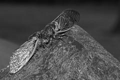 Kissing Cicadas (2013 Brood II, Magicicada septendecim, also called Pharaoh Cicada or the 17-year Locust) (Stephen Little) Tags: 50mmf17 sooc minolta50mmf17 straightoutofcamera minoltaaf50mmf17 minolta50mm sonya77 jstephenlittlejr slta77 sonyslta77 sonyslta77v sonyalphaslta77v