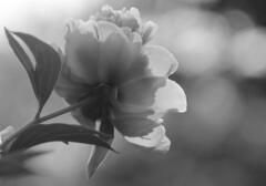 PeonyandBokeh (veronica p88) Tags: summer blackandwhite bw flower nature canon garden bokeh peony naturephotography natureshots floweres