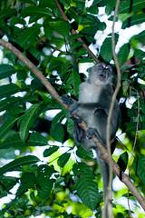 Long Tail Macaques [Macaca fasciularis] (kkchome) Tags: nature fauna monkey asia wildlife places sarawak malaysia primate kuching macaque longtailmacaque macacafasciularis