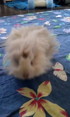 Eos begging and running around (Scratchblack) Tags: pet cute girl animal guineapig rodent sweet adorable fluffy running swedish tigger husdjur begging piggie djur marsvin lunkarya