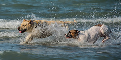 MDB 57 (Jan Crites) Tags: lake chicago playing beach dogs harbor illinois nikon sunny canine running lakemichigan montroseharbor dogbeach splashing d600 montrosedogbeach