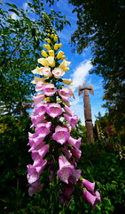 Very Very Tall Flowers in Butchart Gardens (TOTORORO.RORO) Tags: life travel flowers light canada reflection tree green tourism nature colors yellow vertical garden giant lens island dof bc view purple zoom bokeh britishcolumbia sony wideangle visit totem victoria tourist pole vancouverisland popcorn foxglove alpha butchartgardens popular visitor f4 forcedperspective hdr attractions brentwoodbay oss nex greatervancouver mirrorless 1018mm nex6 sel1018