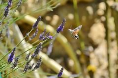 Sommer I / Summer I (Tinina67) Tags: summer france flower garden hummingbird sommer south moth lavender july bloom tina juli garten lavendel gers taubenschwänzchen macroglossum stellatarum 2013 tinina67