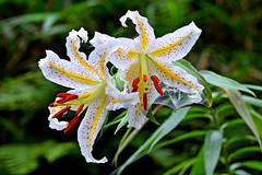 Gold-banded Lily / () (Dakiny) Tags: summer plant flower nature japan landscape lily july yokohama        satoyama  jige 2013 rurallandscape    goldbanded aobaku      2013   jigecho jigefurusatovillage