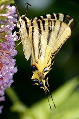 Swallowtail (David B. - just passed the 7 million views. Thanks) Tags: macro nature animal animals butterfly garden insect buddleia sony insects papillon animaux swallowtail butterflybush insecte insectes papilio 70300 buddleja machaon a55 70300g portequeue sony70300gssm sonyalpha55 a55v sonydslta55v