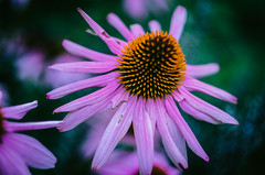 Helios (DWO630) Tags: flower garden botanical purple pentax bokeh lewis m42 coneflower manualfocus helios ginter beautiul primelens russianlens lewisginterbotanicalgarden k01 lgbg