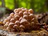 Community of mushrooms in the forest (Paco CT) Tags: macro forest mushrooms spain community bosque grupo esp comunidad mycena setas lleida valledearan valdaran 2013 bausen pacoct
