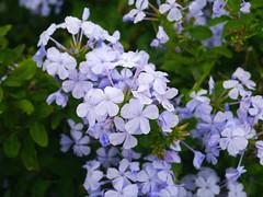 Plumbago auriculata (JoanSJ) Tags: flowers blue garden mediterranean paleblue