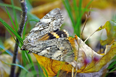 Underwing Moth (Catocala sp) (Gaz-zee-boh) Tags: usa nature insect vermont moth underwingmoth catocala almostanything naturewatcher catocalasp nikond7k