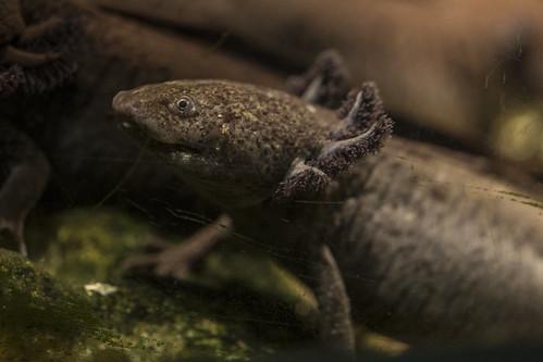 Axolotl | Lincoln Park Zoo