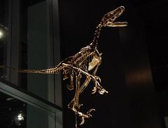 Sauronitholestes - Lizard Bird Robber (1) (juan_guthrie) Tags: drumheller alberta royaltyrrellmuseum dynosaur