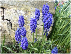 Grape Hyacinth .. (** Janets Photos **) Tags: uk blue plants wonderful hair flora all peace loveit to hyacinth applause loveforever fabolous happytogether flourishing woooow notaterrorist wonderfulworld herecomesthesun peacetoall royalgroup sexygroup takenwithlove nicefeelings whiteiswhite lovelynewflickr flickrheartgroup canceledgroup freedomhasnoprice notavailablegroup