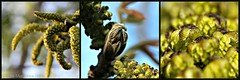 WALNOOT MANNELIJKE BLOESEM || WALNUT BLOSSEM (Anne-Miek Bibbe) Tags: garden blossom walnut nederland jardin jardim tuin garten bloesem giardino 2015 walnsse noyer walnoot juglansregia bibbe annemiekbibbe canoneos700d okkernoot walnootboom canoneosrebelt5idslr