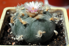 DSC_19831 (sentimentalbob) Tags: cactus flower nikon ukraine peyote d200 mescaline lophophora lophophorawilliamsii vinnitsa nikond200 williamsii