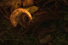 HMM:  Mysterious snail (Ruud.) Tags: ruudschreuder nikon nikond810 d810 105mm 105mmf28 mysterieus mysterious macromondays macro makro snail slak