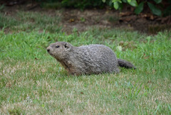2016-07-26 (9) ground hog in back yard (JimFleenor) Tags: photos photography md maryland bowie bowiemd outside outdoors july mammals animals groundhog woodchuck burrower digger wild wildlife hibernator