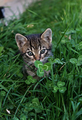 searching for luck (Anny-justme) Tags: nature day cat animal green grass clover kitty eyes little tiger fur dof look lovely light outdoor outside