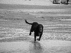 Surf's Up! (cngphotographic) Tags: dog canine sea shoreline shore water animal hound pooch beach fun autumn running surf spray coastal monochrome mono blackandwhite raw rawtherapee fujifilm eastsussex cambersands broomhill england spaniel splash