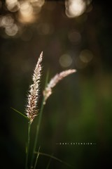 Feather Pennisetum/Mission Grass (Dari_Extension) Tags: weed nature light bokeh
