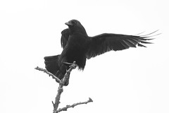 untitled (robwiddowson) Tags: crow corvid carrion bird birds nature natural animal animals robertwiddowson photo photograph photography image picture blackandwhite