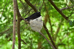 Sitting on the nest (Luke6876) Tags: williewagtail fantail bird animal wildlife australianwildlife nest family